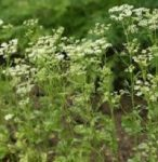 aniseed-essential-oil