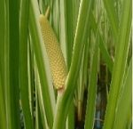 calamus-essential-oil