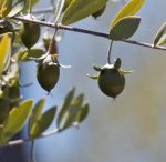 Jojoba (Golden) Oil